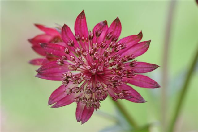 Astrantia major 'Garnet'